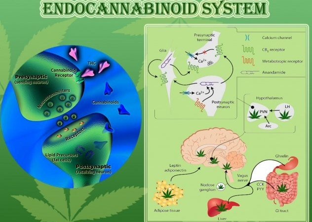 Endocannabinoid System – Your Body's Own Cannabis System