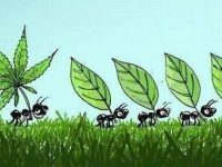 ants carrying marijuana