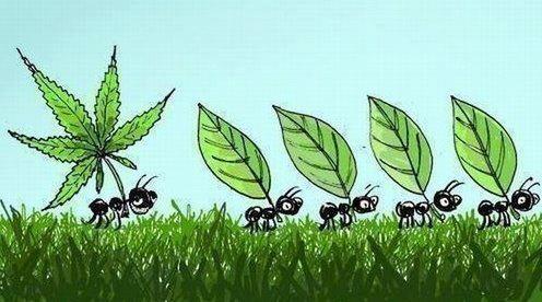 ants carrying marijuana