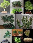 bonsai weed plants