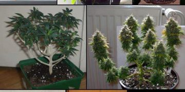 bonsai weed plants