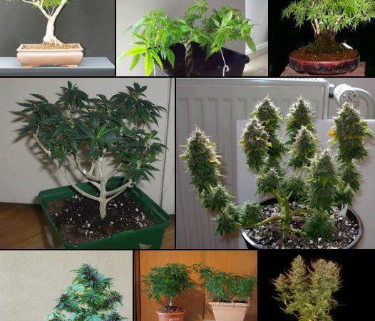 Collection of Bonsai pot plants