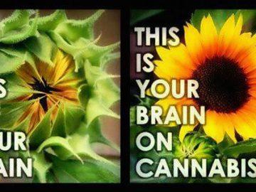 brain on cannabis meme