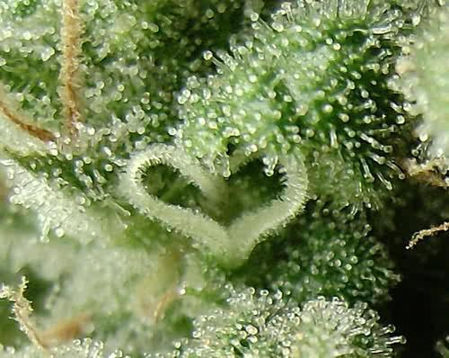 heart shaped cannabis trichomes