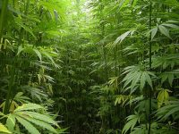 jungle of marijuana plants trees