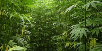 jungle of marijuana plants trees