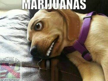 This dog just injected five marijuanas