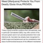 cannabis protects ebola virus