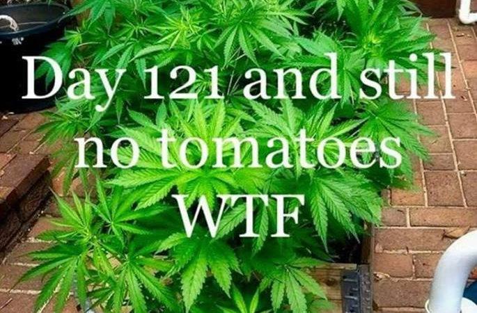 Beware Fake Tomato Plants!