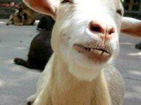 funny goat stoned meme