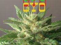 grow your own gyo
