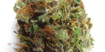 haze strain marijuana bud