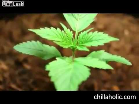 Beautiful Weed Plant Growing – Time-lapse