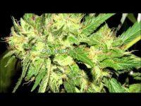 marijuana reserach documentary