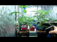 watering marijuana plants