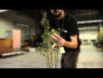 harvesting weed plant trim