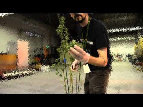 Harvesting Marijuana Plant Time-lapse