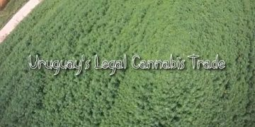Uruguay's Legal Cannabis Trade documentary