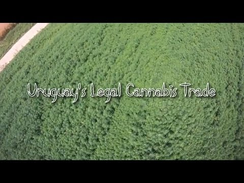 Short Documentary About Uruguay's Legal Cannabis Trade