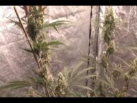 Grafting cannabis plants