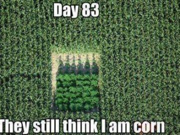 pot groing stealth corn field
