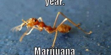 marijuana safer than ants
