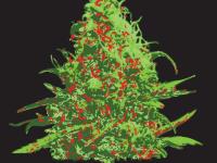 merry kushmas 420 christmas