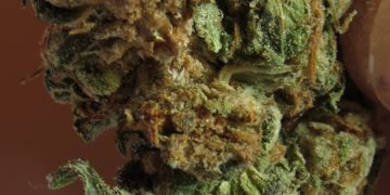 mouldy cannabis bud rot