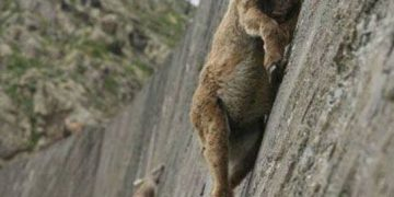 really high mountain goat