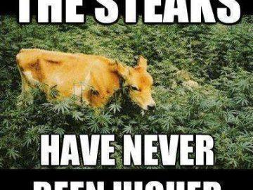 higher steaks grass fed beef livestock