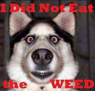 I Did Not Eat The Weed meme