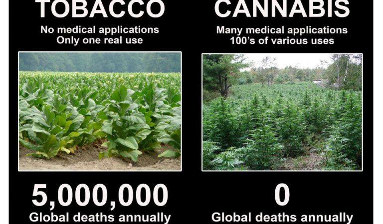 Tobacco v Cannabis deaths