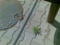 nature urban growing marijuana plant