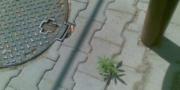 nature urban growing marijuana plant
