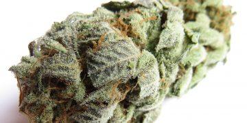 white lemon weed marijuana